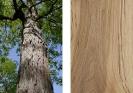 Hickory bianco (Carya ovata)